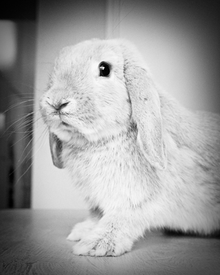 Lincoln the Bunny